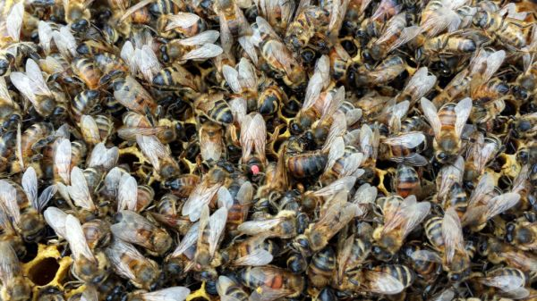 Bees frozen in time. Note queen in the center.