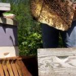 Transfer honeybees from trap to new colony
