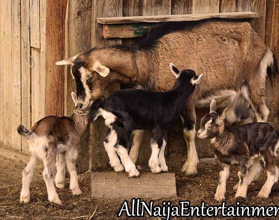 Goat Rearing Business In Nigeria