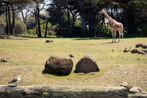 Seagull vs Giraffe