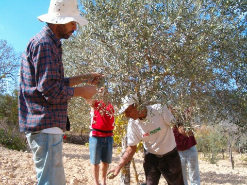 Abed picking olives