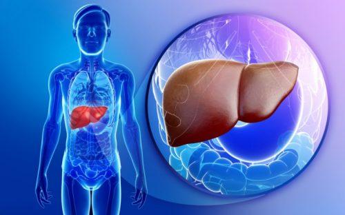 صورة توضح موقع الكبد داخل الجسم
