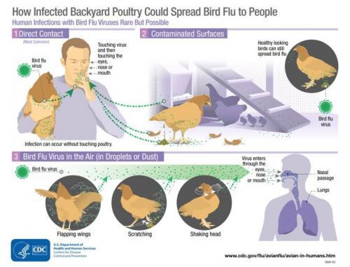 bird_flu_infection_0.jpg