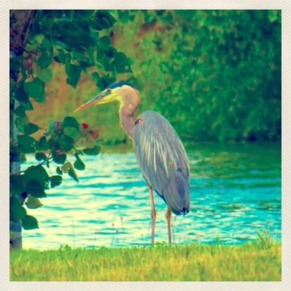 The Heron.