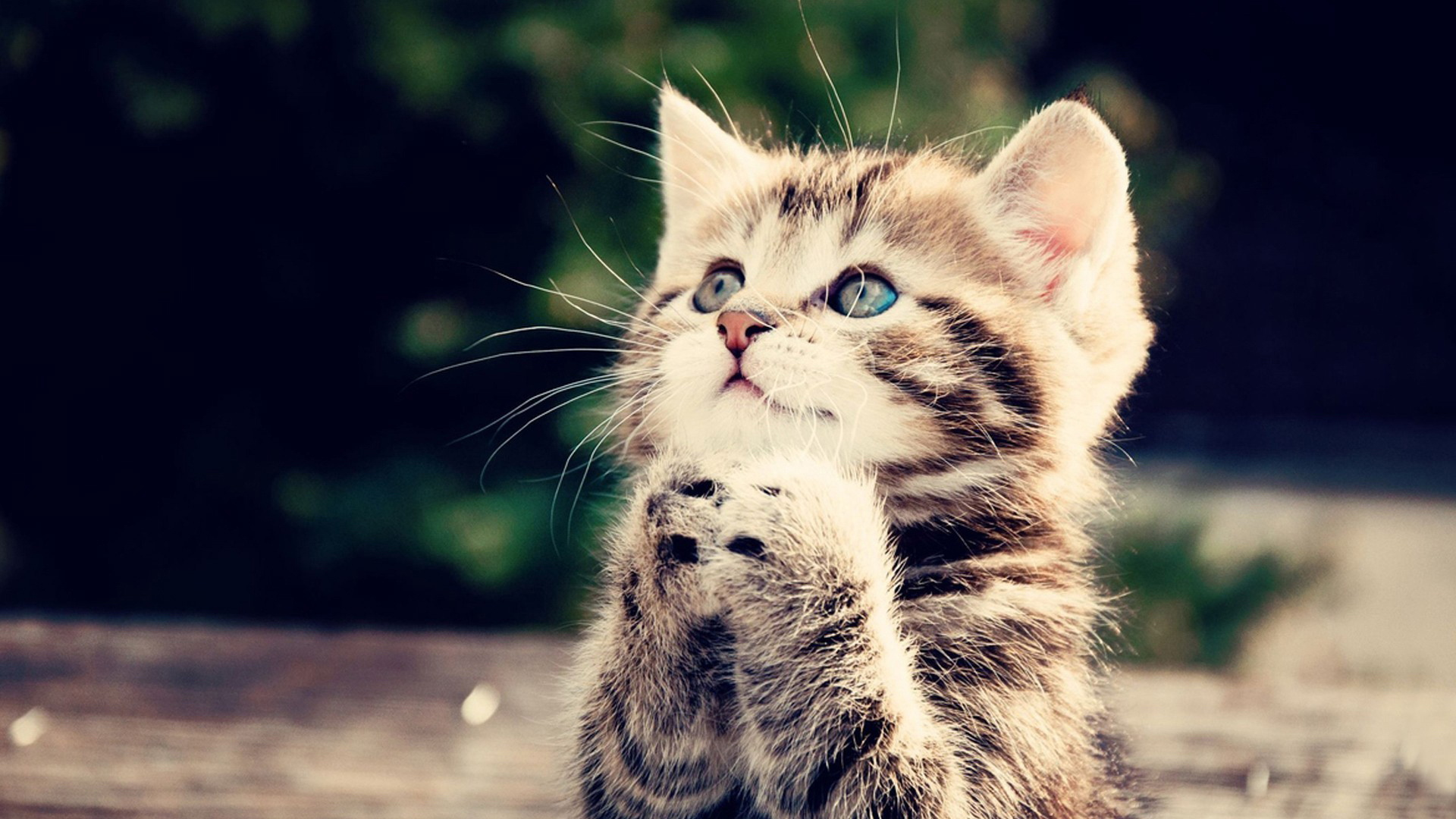 HUMOUR ALLAH MATOU - Page 3 Animal-wallpapers-cute-kitten-wallpaper-35723