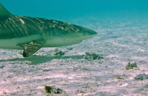RS Blacktips cruising the shallows