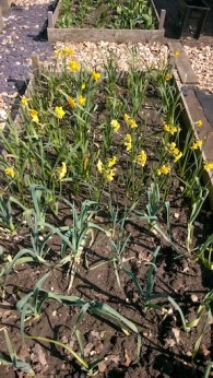 Daffodils and leeks