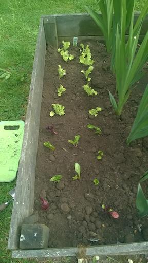 Lettuces 1