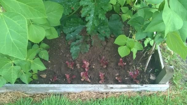 Lettuces 3