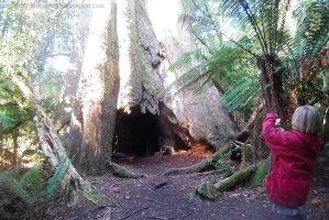 Big Tree Walk Weldborough.033 12h09m31s2019 06 04