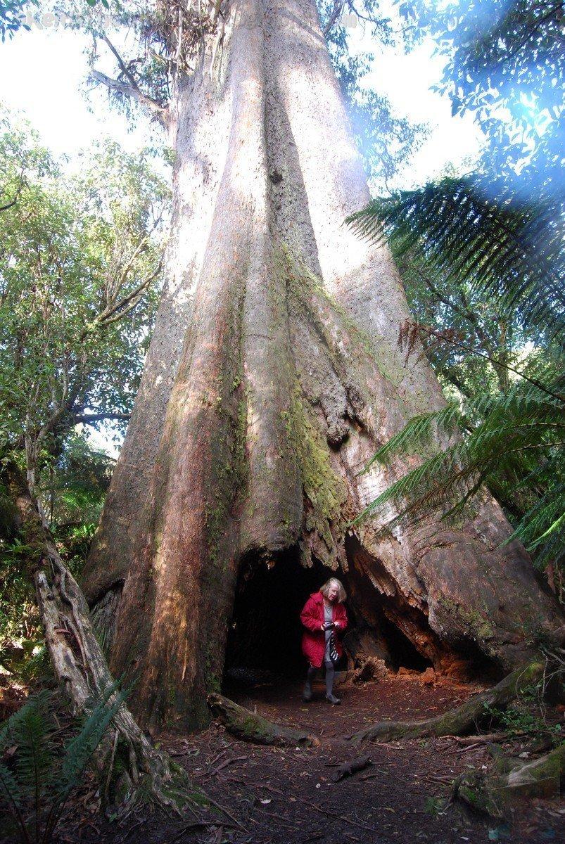 Big Tree Walk Weldborough.043 12h17m23s2019 06 04