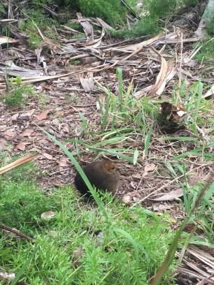 baby-australia-australian-brush-turkey-burleigh-heads-national-park
