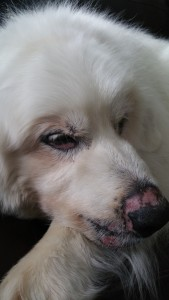 Smooth soft new skin covers thepreviously gooey hot edges of skin by the nose, eyes, and lips of this Great Pyrenees gentle giant.