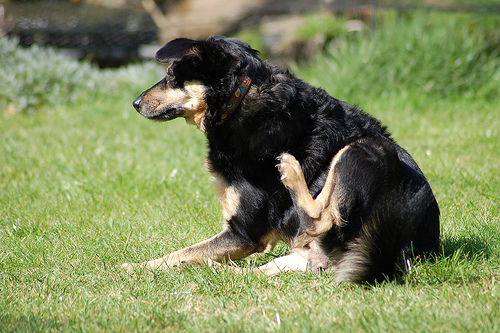 Dog with Fleas - All Pet News