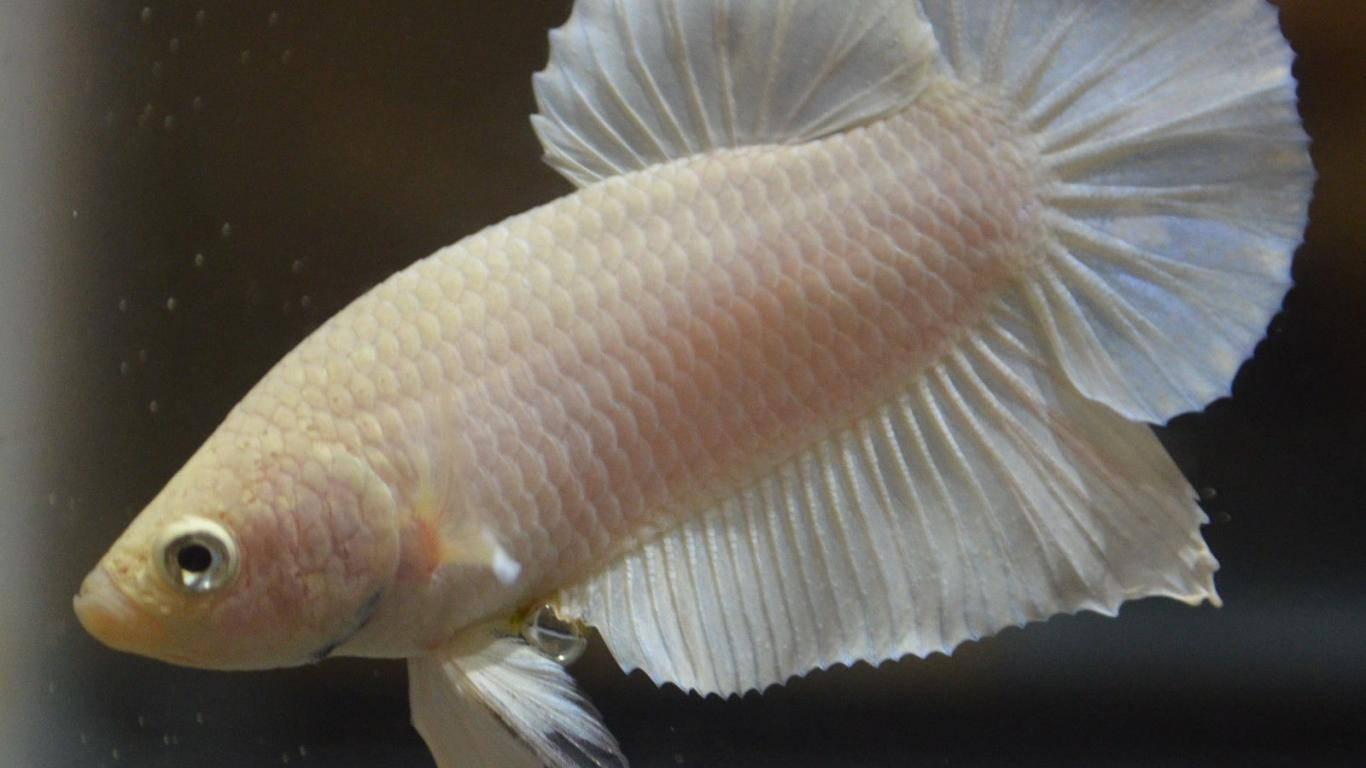 Hd Wallpapers Butterflies Widescreen Albino Betta Fish Picture 6 Of 20 Female Betta For