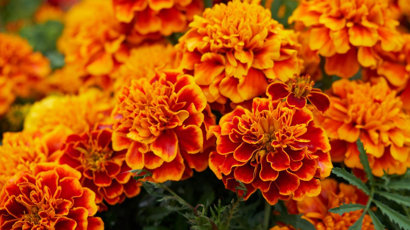 Fall Computer Wallpaper Images Orange Flowered Wallpaper With Marigold Flower Hd