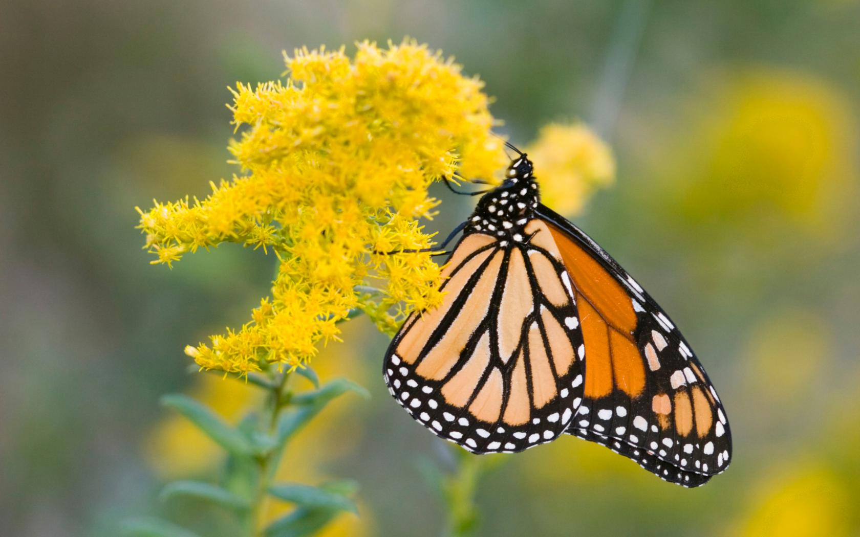 Download Animated Wallpapers For Mobile Phone 4k Nature Wallpaper With Picture Of Monarch Butterfly On