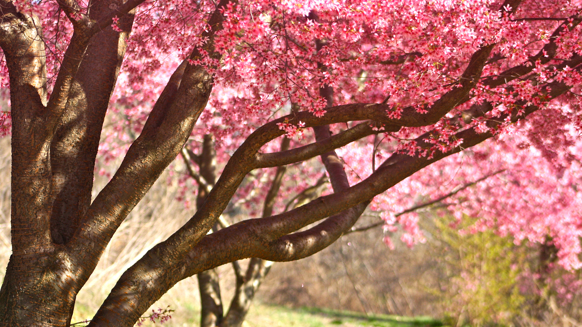 Falling Cherry Blossom Wallpaper Hd High Resolution Nature Pictures With Pink Colored Cherry