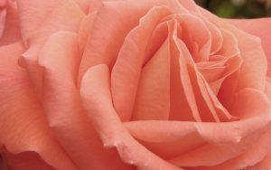 Attachment for Nature wallpaper - peach rose flower - Symbolizes modesty