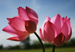 Beautiful Nature Wallpaper with Two Lotus Flowers in Pink