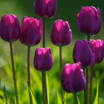 Nature wallpaper with purple tulips