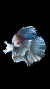 Apple iPhone 6s Wallpaper with Silver Albino Betta Fish in Dark Background