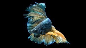 Blue and Yellow Halfmoon Betta Wallpaper 5 of 7
