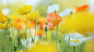 Attachment file to download for Cool wallpapers for girls with spring poppies in HD
