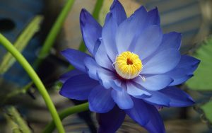 High resolution Lotus flower image