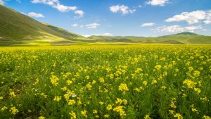 4K Wallpaper with Rapeseed Field in Summer