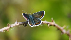 Brown Argus Butterfly in Nature