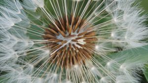 Free Download of Dandelion Seed Macro Photo for HD Wallpaper