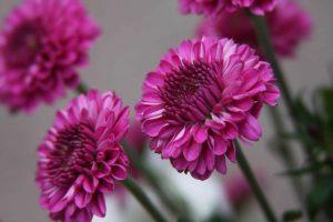 Purple Chrysanthemum Picture for Wallpaper