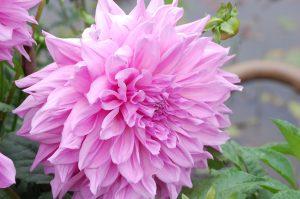 Purple Dahlia Flower in Close Up