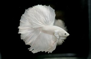 Albino Betta Fish Picture (8) with Solid White Halfmoon