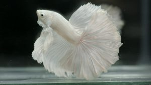 Albino Betta Fish Picture (9) with pinkish white halfmoon