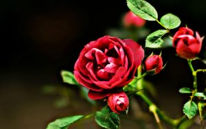 Attachment for Red Flowers HD Nature Wallpaper with Rose Picture