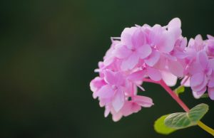 File attachment for High Resolution Flower Wallpaper with Pink Hortensia