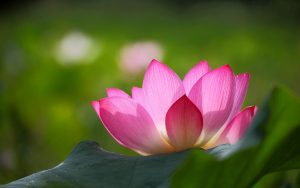Pink Lotus Flower Wallpaper with Green Background