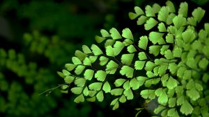 Beautiful Nature Wallpaper Big Size #06 with Leaves of Adiantum Raddianum