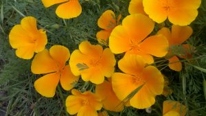 Orange Flowered Wallpaper with California Poppies