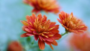 Orange Flowered Wallpaper with Chrysanthemum