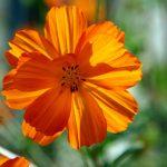 Orange Flowered Wallpaper with Cosmos Flower