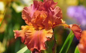 Orange Flowered Wallpaper with Iris Flower