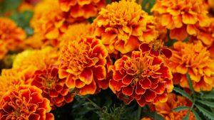 Orange Flowered Wallpaper with Marigold