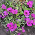 Tiny Flower Wallpaper with Rock Cress