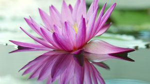 Best Pictures Of Lotus Flowers with Purple Lotus on Pond