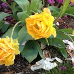 Flowers That Look Like Roses with Yellow Double Tulips