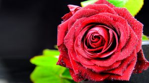 Close Up Pictures of Red Rose Flower with Dark Background