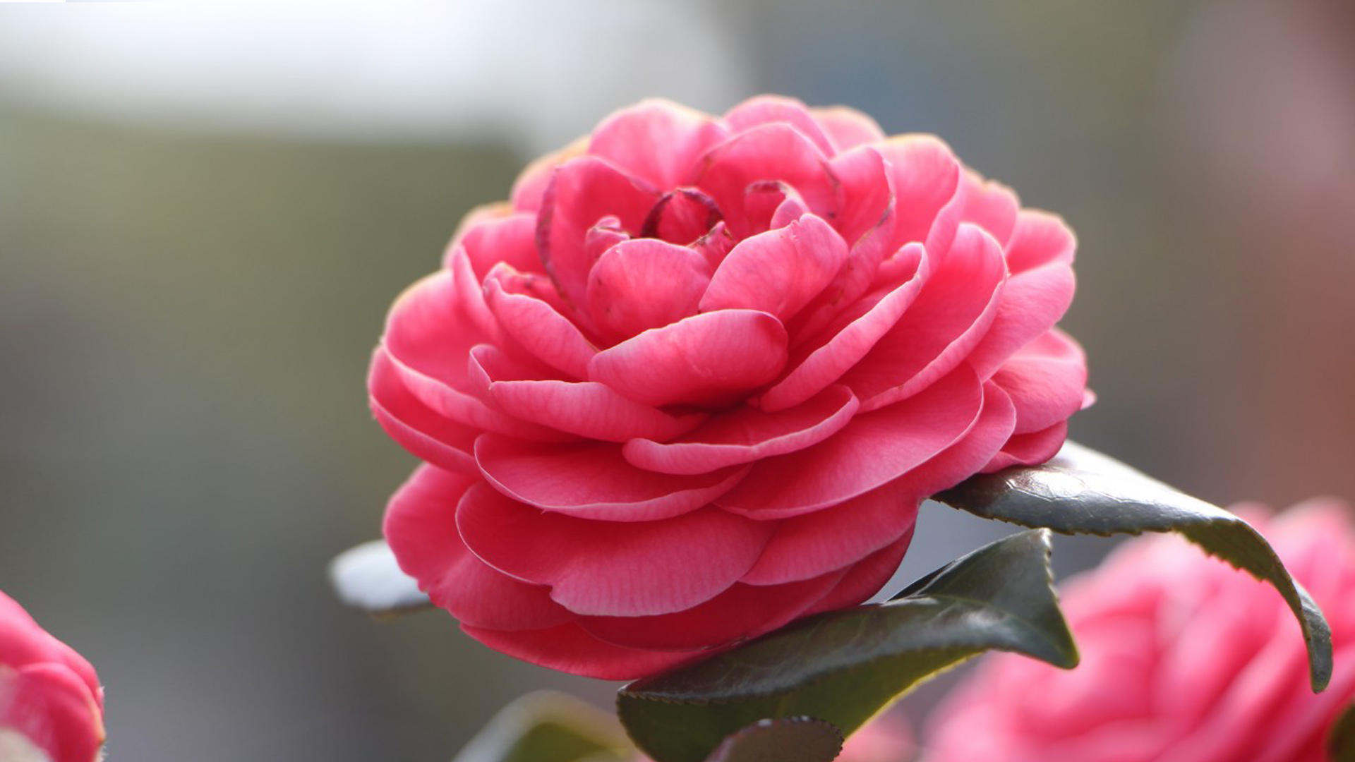 High Resolution Wallpaper Fall Top 10 Flowers That Look Like Roses 02 Camellia Hd